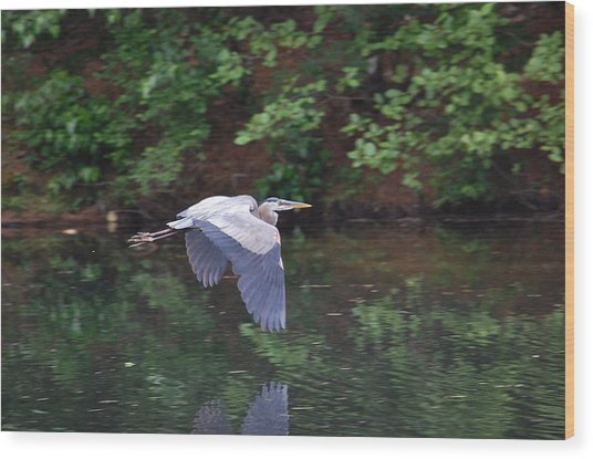 Great Blue Heron Flying Low Wood Print