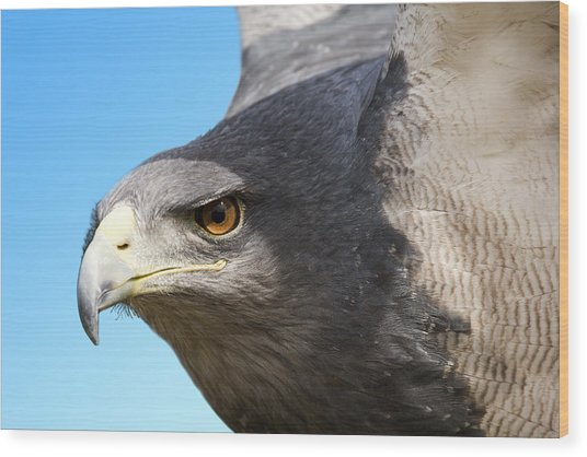 Great-chested Buzzard Eagle Wood Print