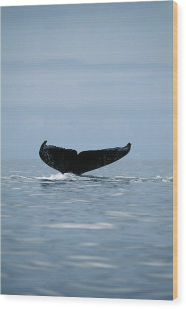 Humpback Whale Tail Wood Print by Alexis Rosenfeld