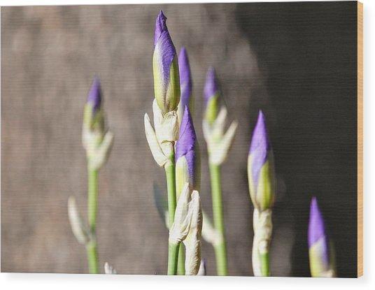 Lavender Iris Buds Wood Print
