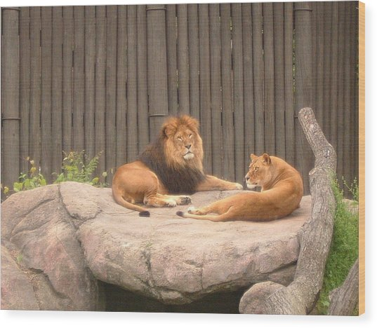 Lions - The Happy Couple Relaxing - Cleveland Metro Zoo 1 Wood Print by S Taylor