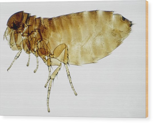 Lm Of Bird Flea Wood Print by Power And Syred