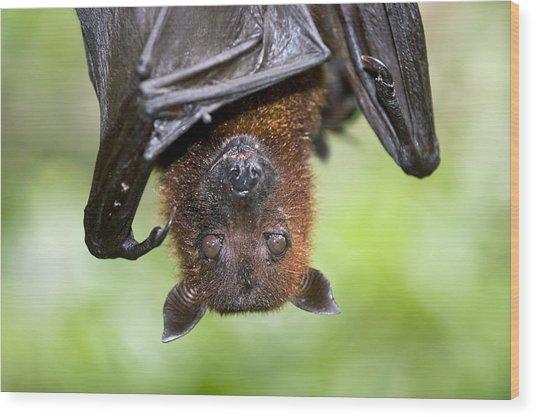 Malayan Flying Fox Wood Print by Tony Camacho