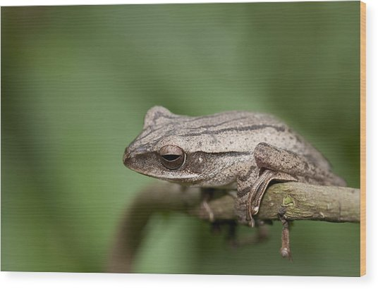 Malaysia Frog Wood Print