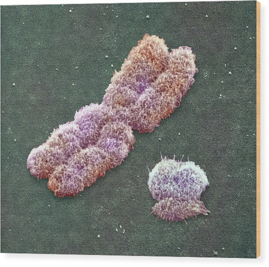 Male Sex Chromosomes, Sem Wood Print by Power And Syred