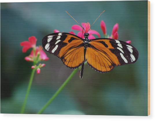 Monarch Butterfly Wood Print