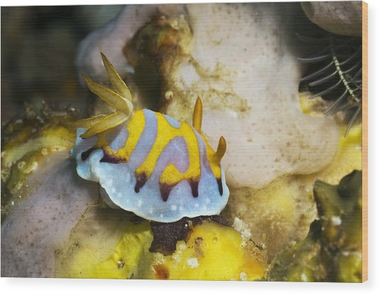 Nudibranch Wood Print by Georgette Douwma