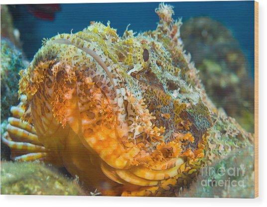 Papuan Scorpionfish Lying On A Reef Wood Print