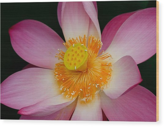 Pink lotus flower blooming at thailand photograph by chatchawin jampapha pink lotus flower blooming at thailand wood print by chatchawin jampapha mightylinksfo