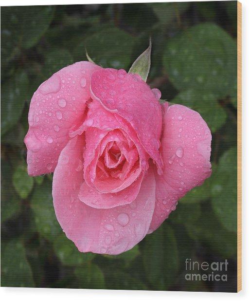 Pink Rose Macro Shot With Rain Drops Wood Print