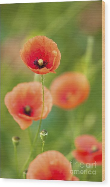 Poppies Wood Print by Andrew  Michael