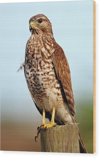 Portrait Of A Red Shouldered Hawk Wood Print