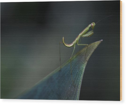 Praying Mantis Wood Print