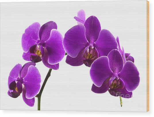 Purple Orchids Wood Print by Blink Images