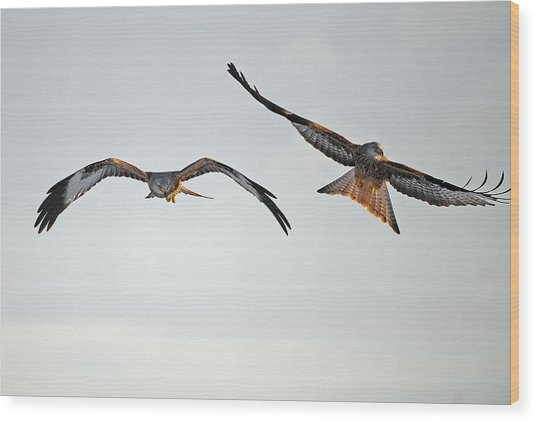 red Kites. Wood Print by Andrew Chittock