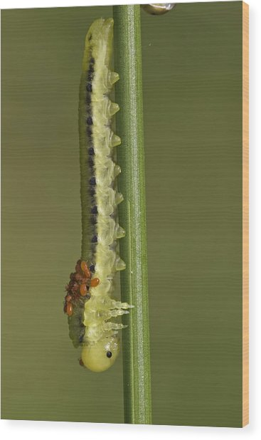 Sawfly Larva Wood Print by Anne Sorbes