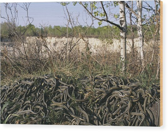 Snakes Mating Wood Print by Alan Sirulnikoff