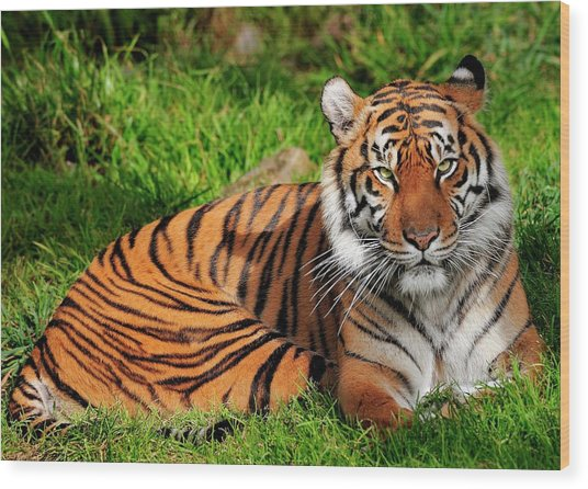 Sumatran Tiger  Wood Print
