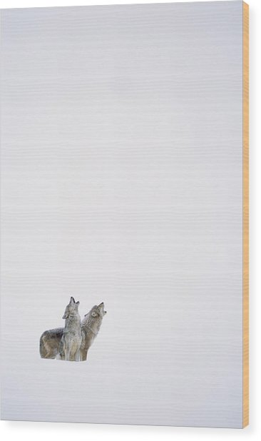Timber Wolf Pair Howling In Snow North Wood Print