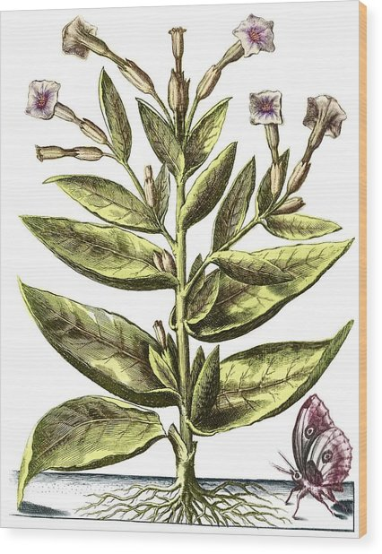 Tobacco Plant, 17th Century Artwork Wood Print by Middle Temple Library