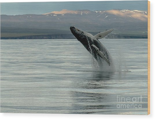 Whale Jumping Wood Print