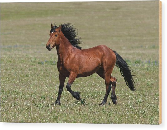 Wild Mustang Stallion Wood Print