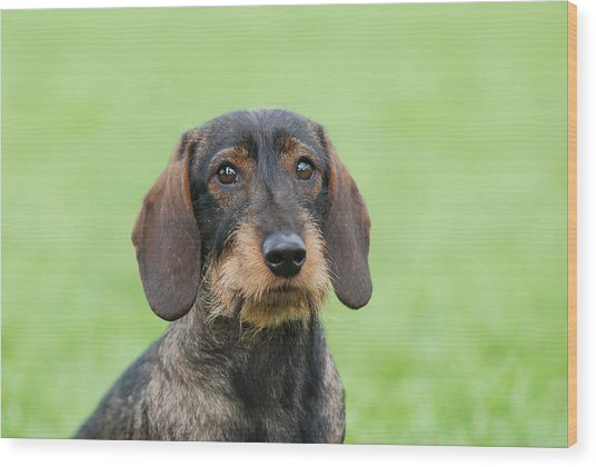 Wire-haired Dachshund Dog  Wood Print by Waldek Dabrowski