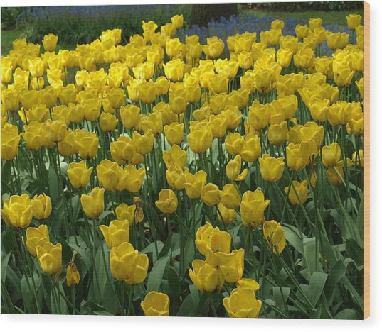 Yellow Tulips 2 Wood Print by Larry Krussel