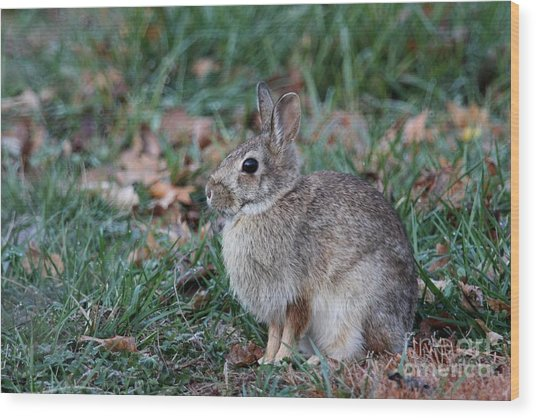 Eastern Cottontail Rabbit Wood Print