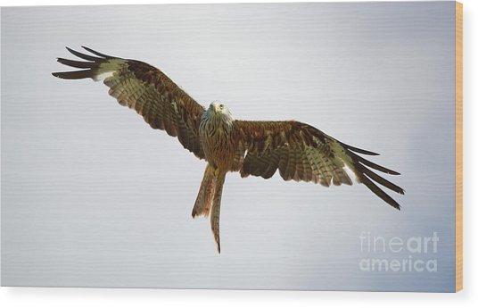 Red Kite In Flight Wood Print