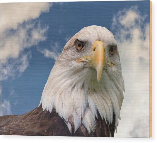 American Bald Eagle Wood Print by Ken Wolter