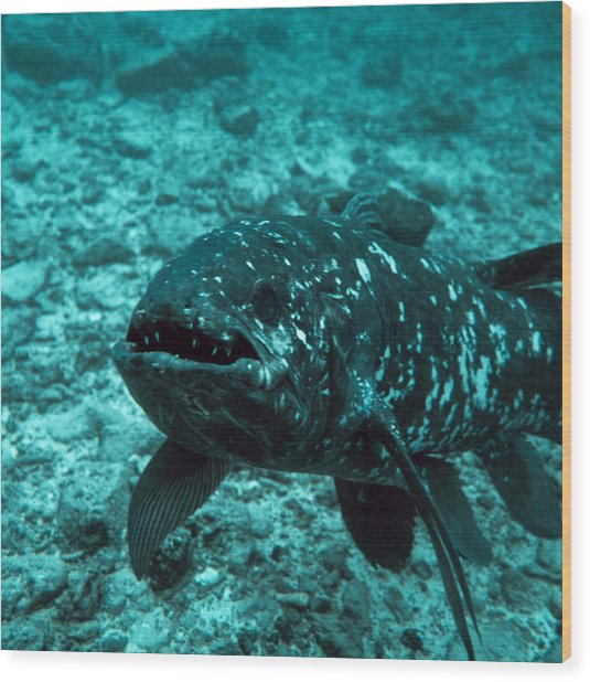 Coelacanth Fish Wood Print by Peter Scoones