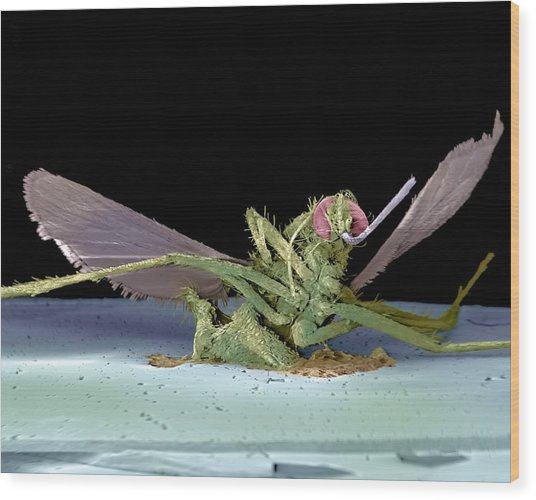 Dead Fly, Sem Wood Print by Volker Steger