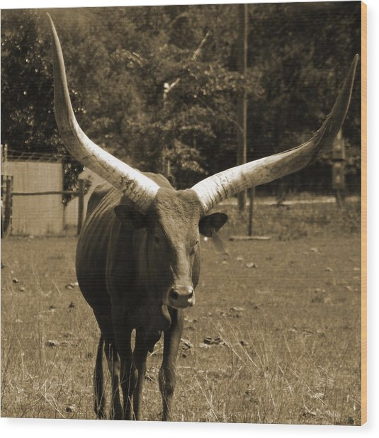 Florida Longhorn Wood Print by Pamela Stanford