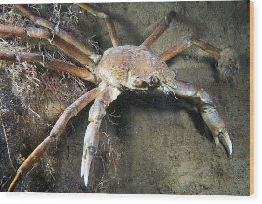 Great Spider Crab Wood Print