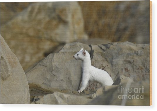 Long Tailed Weasel Wood Print by Dennis Hammer