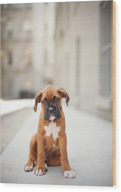 2 Month Old Boxer Puppy Standing In Alley Wood Print