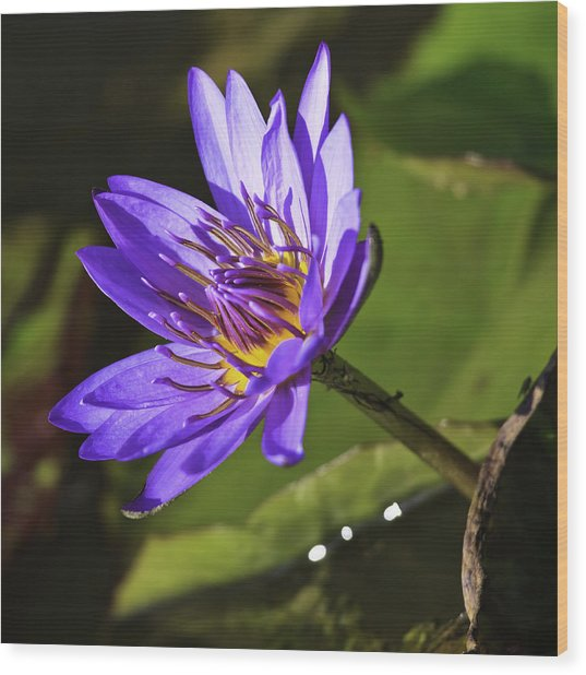 Nymphaea 'panama Pacific' Wood Print