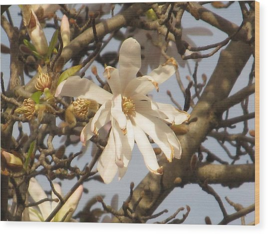 White Magnolias Wood Print by Alfred Ng