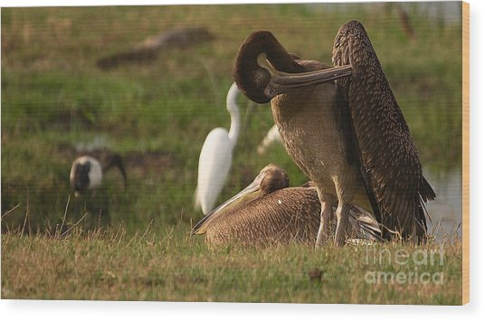 White Pelican Wood Print