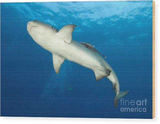 Whitetip Reef Shark, Kimbe Bay, Papua Wood Print