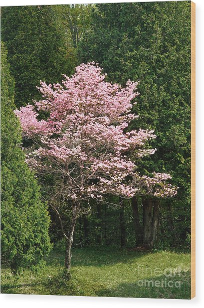 Cherry Blossoms Wood Print by HD Connelly