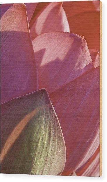 Nelumbo 'mrs. Perry Slocum' Wood Print