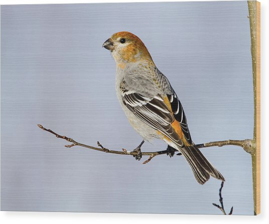 Female Pine Grosbeak Wood Print
