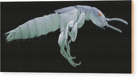 Rove Beetle, Sem Wood Print by Steve Gschmeissner