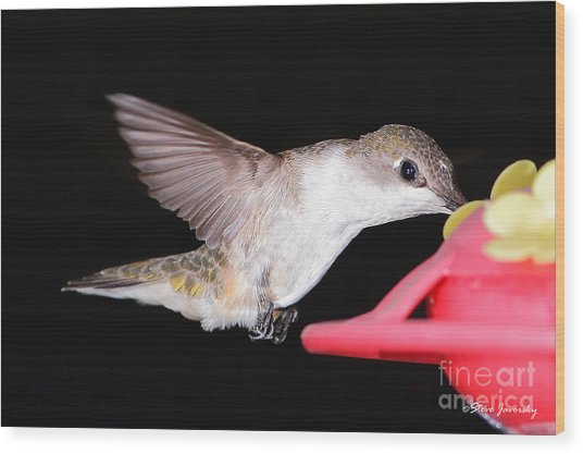 Ruby Throated Hummingbird Wood Print by Steve Javorsky
