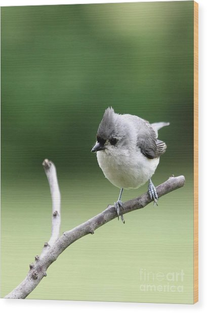 Tufted Titmouse Wood Print by Jack R Brock
