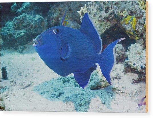 Blue Triggerfish Wood Print by Georgette Douwma
