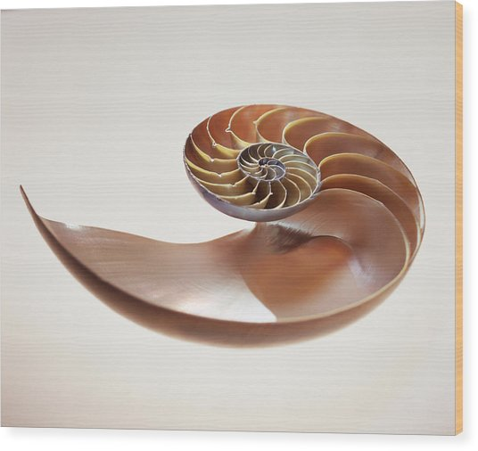 Nautilus Shell Wood Print by Lawrence Lawry