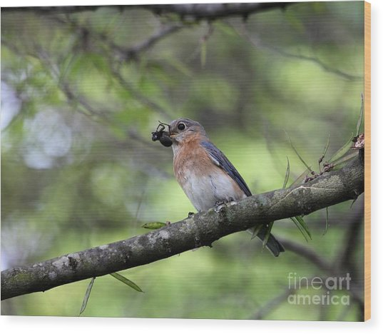 Eastern Bluebird Wood Print by Jack R Brock